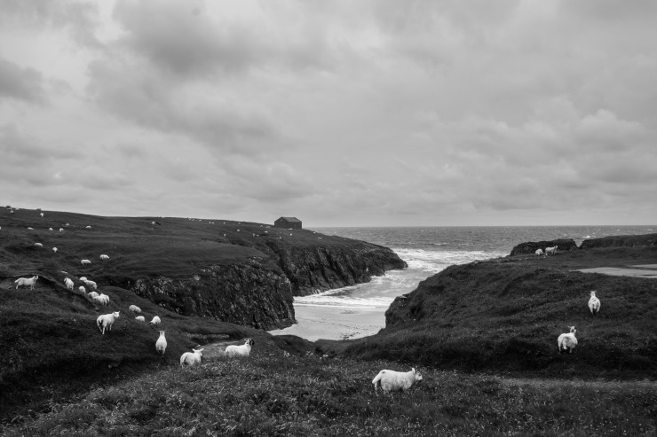 Sheep graze at the Port of Ness, unperturbed by the North Sea gales.
