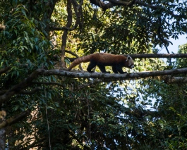 Red panda spotting at the Darjeeling zoo.